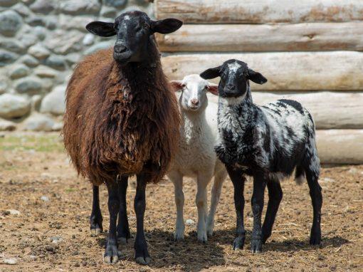 Πρόβατα Ισπανικά